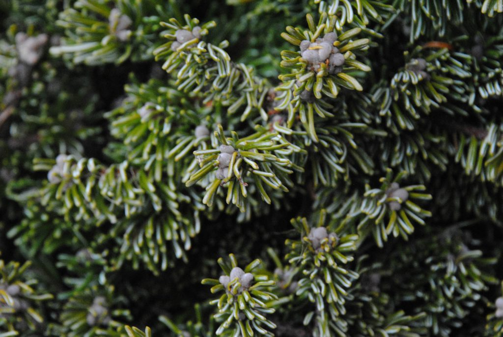 Pearly buds on 'Pacific Pearls' fir broom