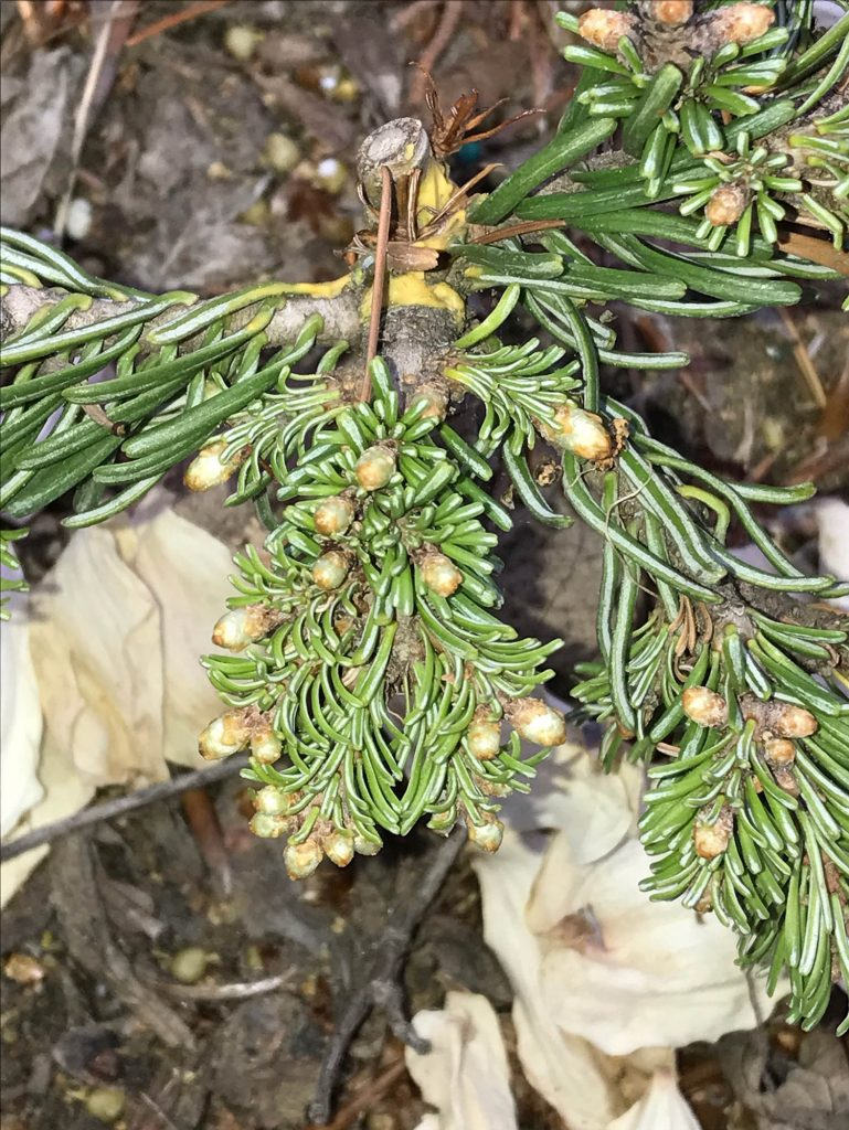 Abies 'Pacific Pearls' starting to push