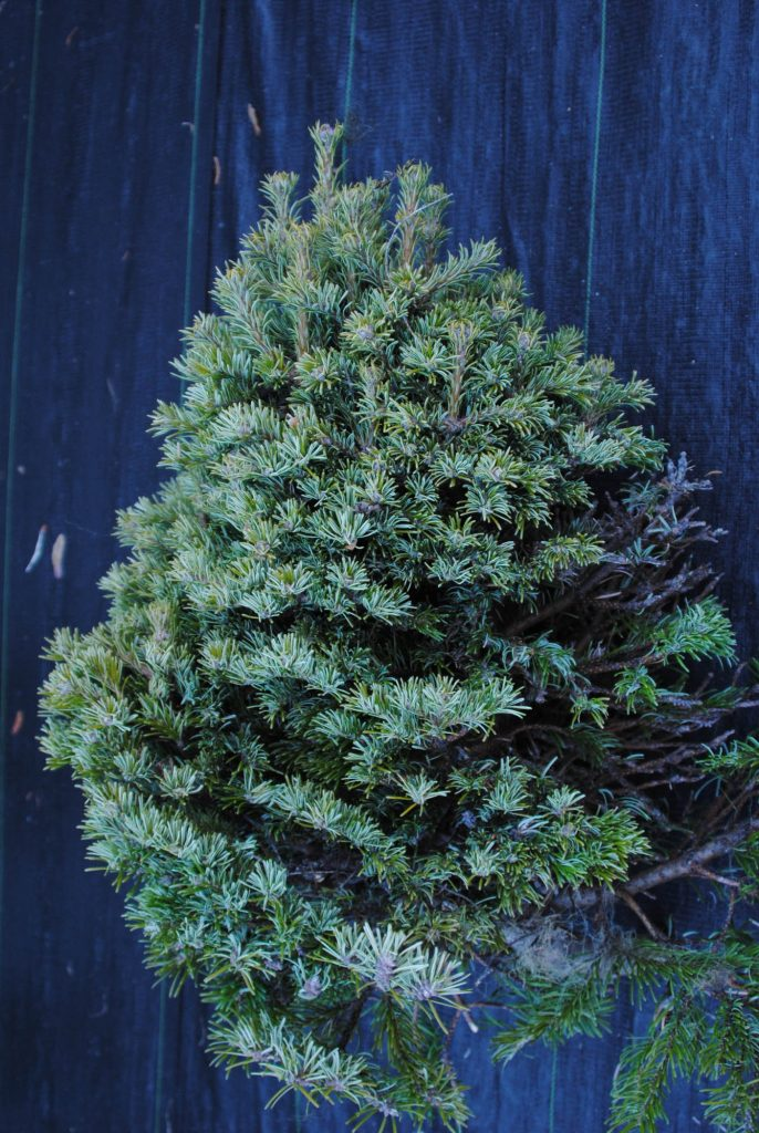 'Topper' fir broom harvested, looks like a miniature tree!