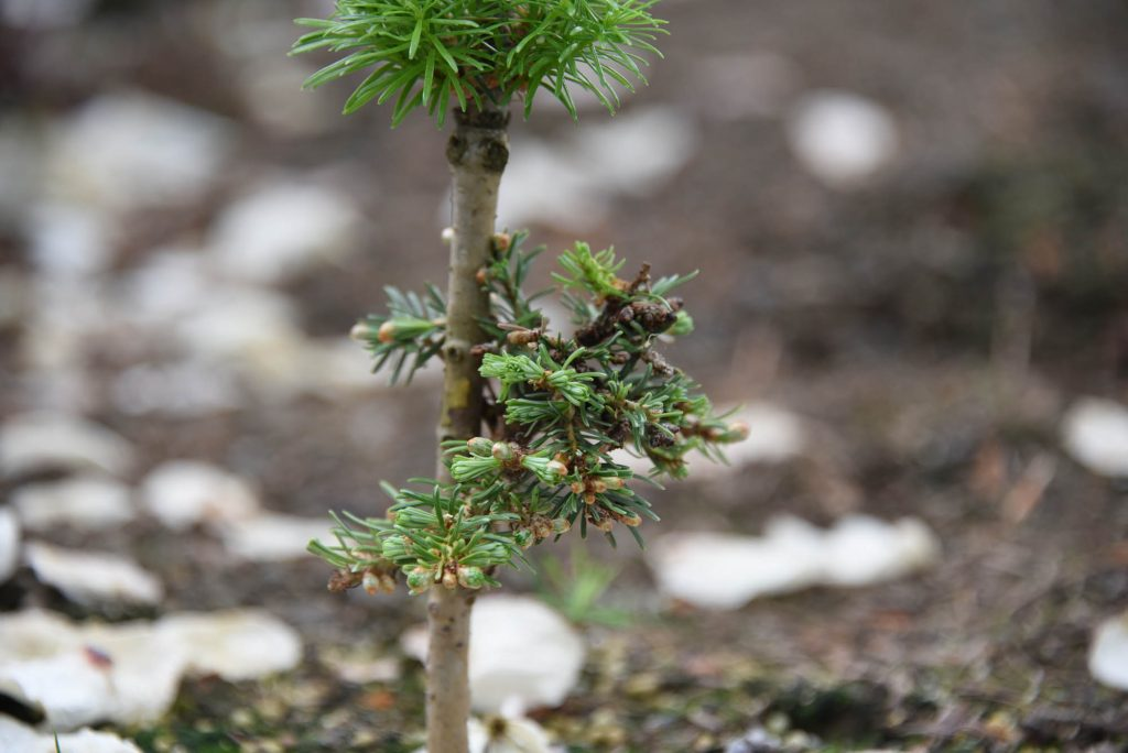 A surviving graft of the Abies fir 'Topper' cultivar!