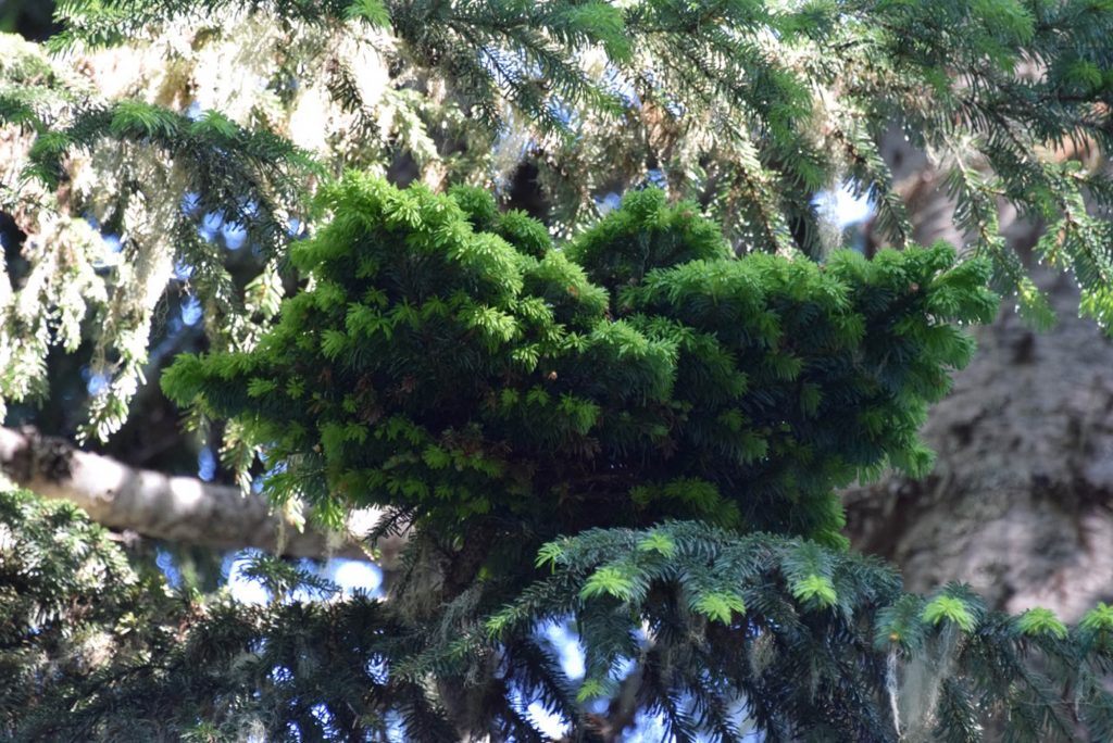 Abies amabilis Pacific fir broom # 12, 'Falling Star' with nice green summer foliage!