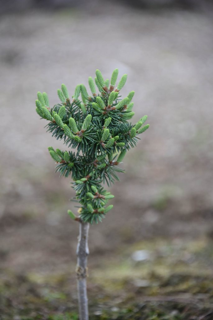 'Orlok' new balsam fir cultivar with healthy new growth!