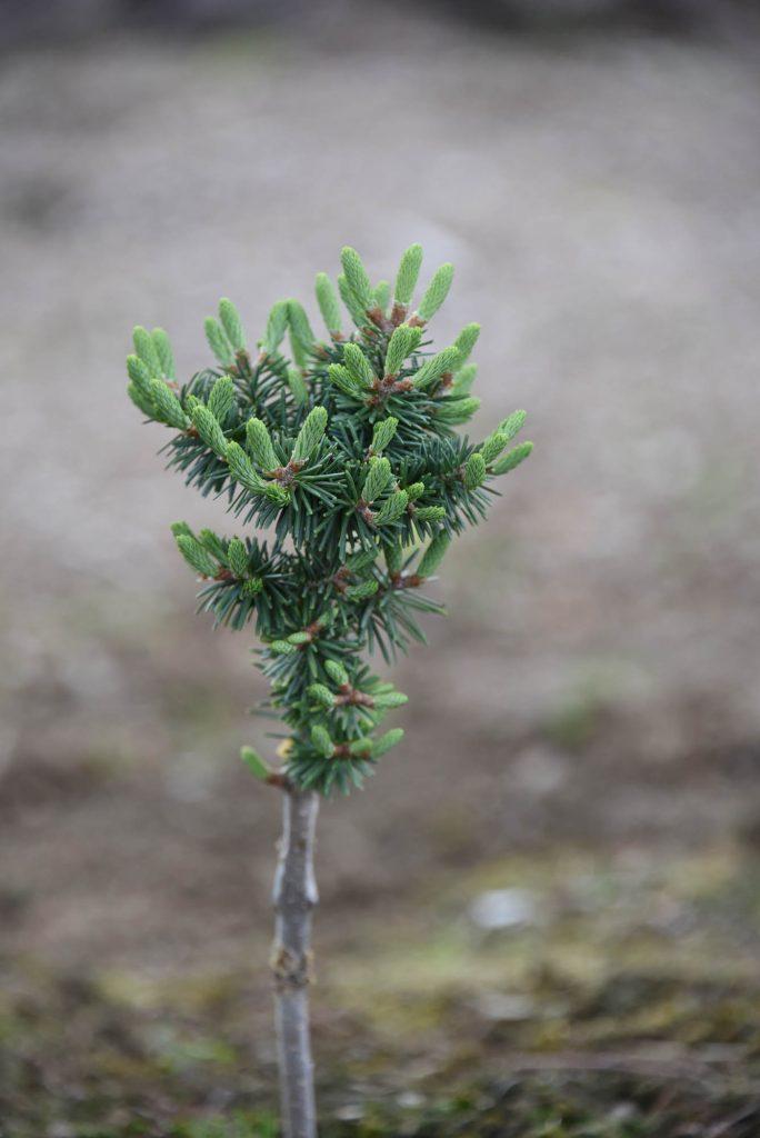 'Orlok' new balsam fir cultivar with healthy new growth!