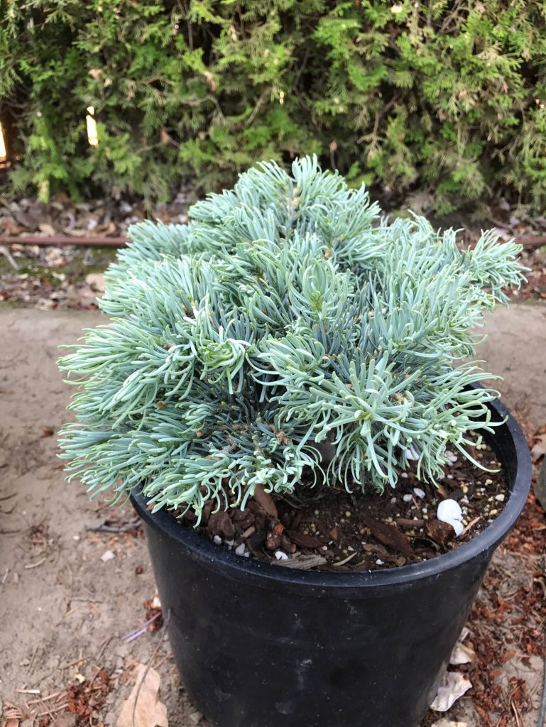 This new Abies concolor cultivar, 'Hoop-dee-doo' has intense powdery blue coloration.