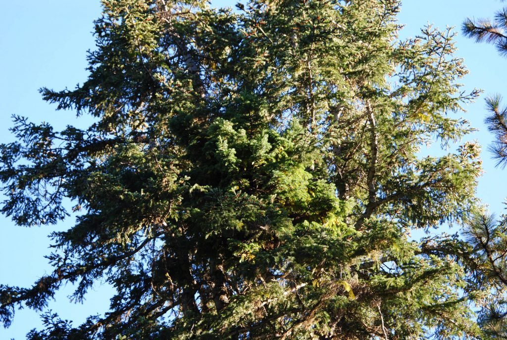 Grand fir broom, 'Grand Poobah'
