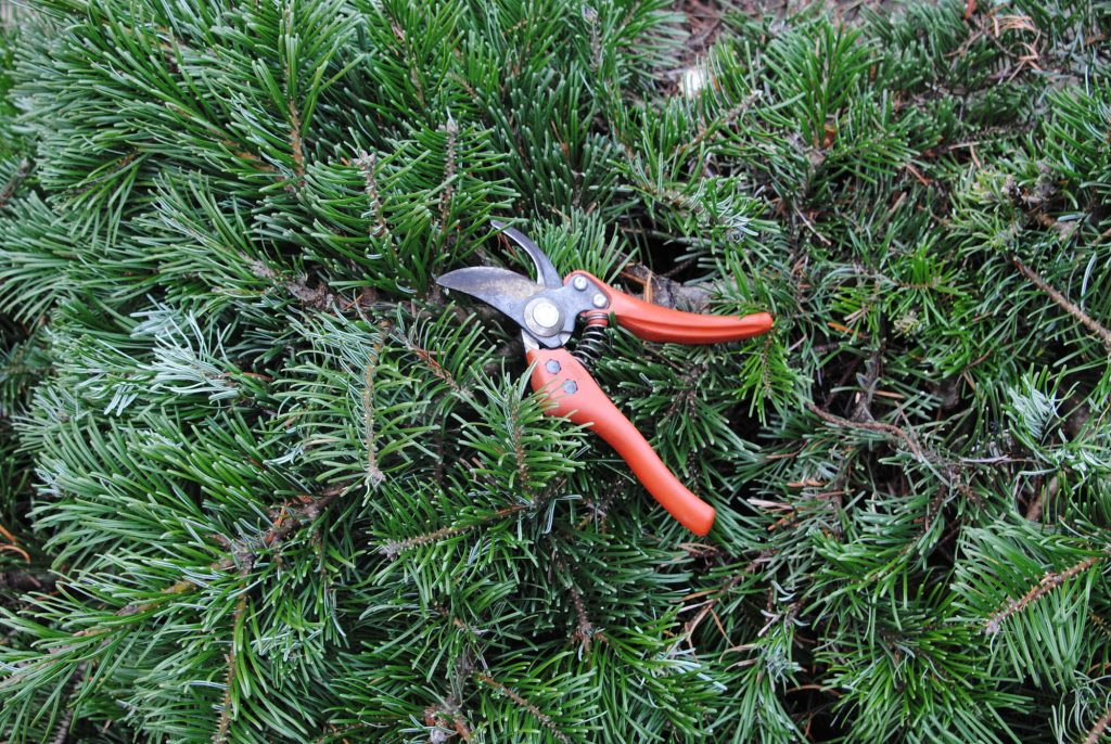 Abies grandis broom 'Serendipity' with pruners to show the size of the growth rate.