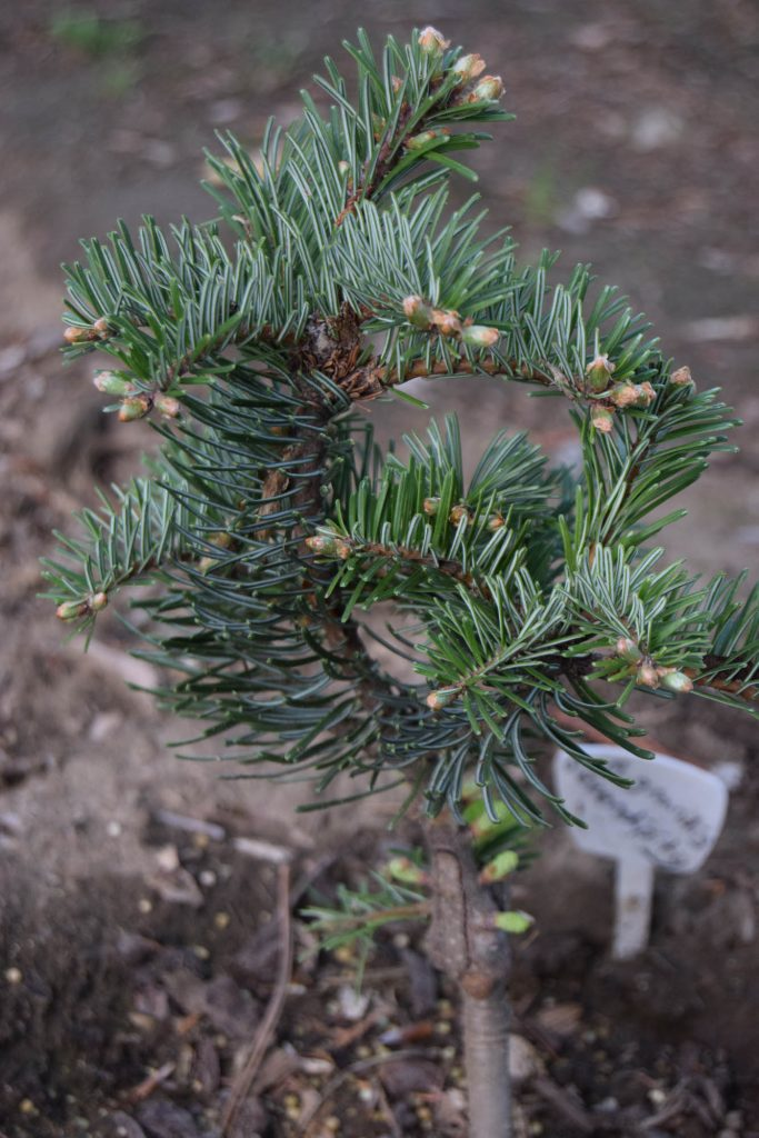 Grand fir cultivar 'Serendipity' with vigorous new growth!