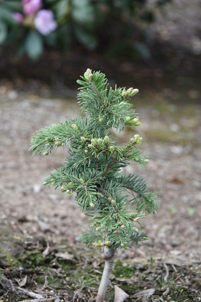 New Abies grandis cultivar 'Serendipity'
