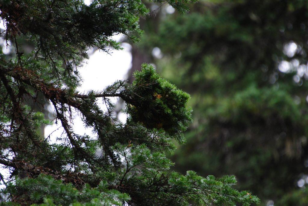 Abies lasiocarpa 'Quark' is a tiny subalpine fir broom