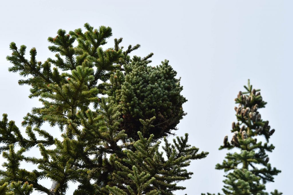 Subalpine fir broom 'Stampede Pass'