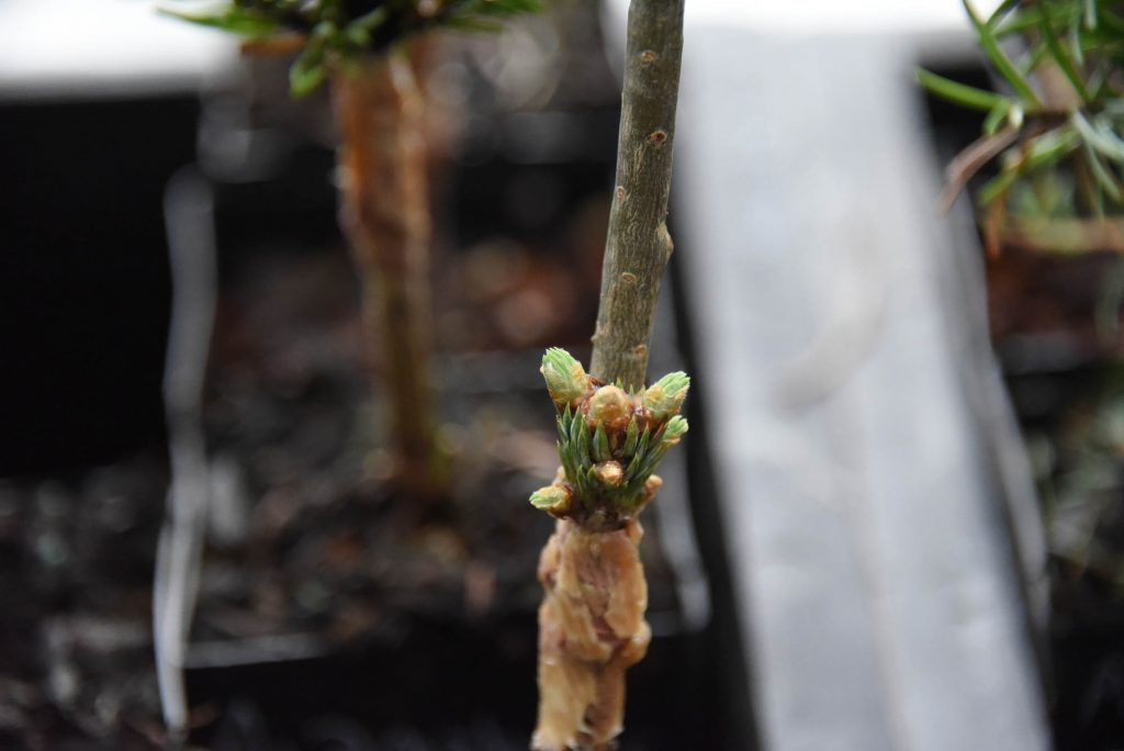 A single tiny Abies lasiocarpa broom scion pushing with multiple buds!