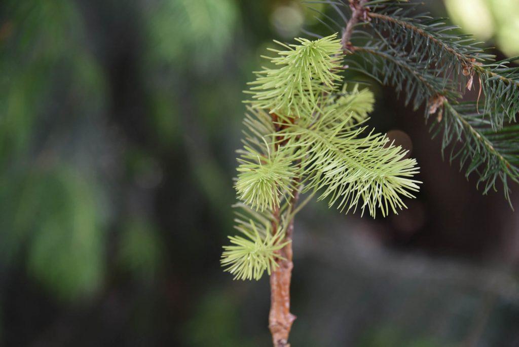 Douglas fir graft 'Cooper's Torch' cultivar with beautiful golden color!