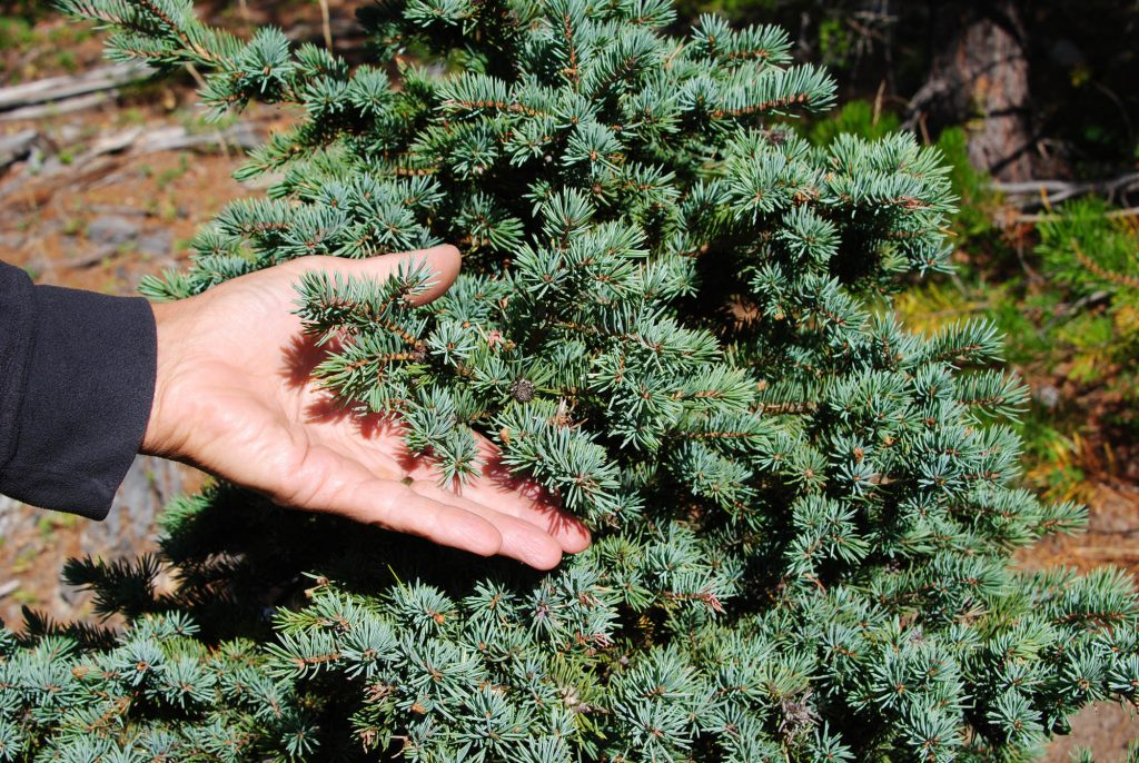 Engelman spruce 'Shrunken Treasure', a dwarf chance seedling with small blue green needles and a slow growth rate!