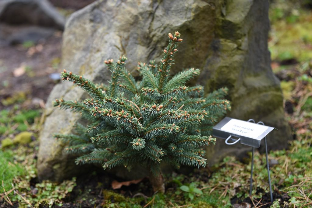 Picea mariana 'Sand River' cultivar on display at the Oregon Garden Arboretum.