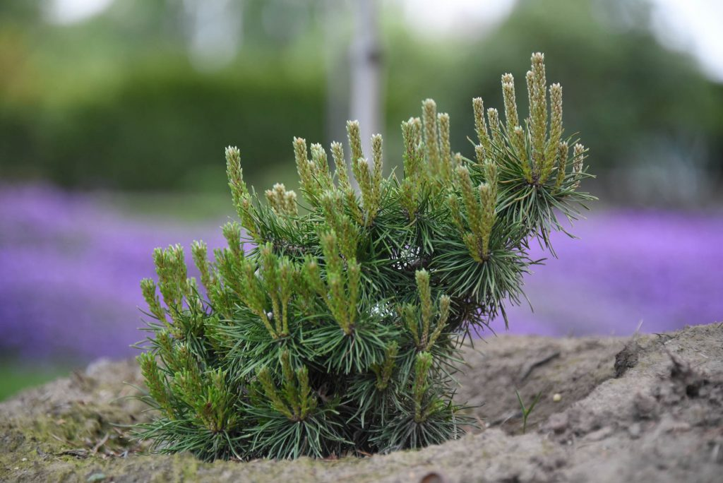 Pinus contorta 'Hexe Fingers' spring push with natural bonsai form.