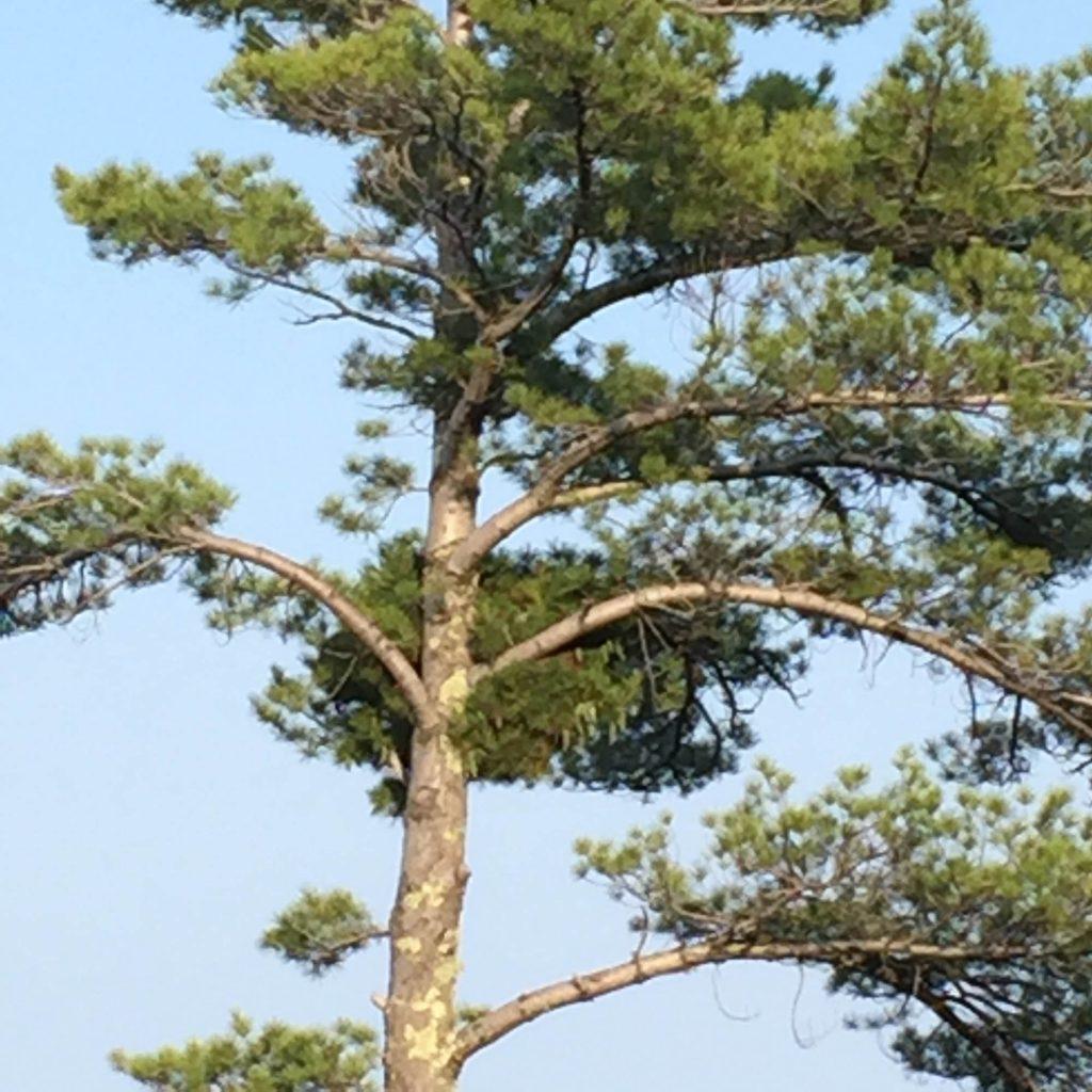 Pine broom Pinus strobus 'Nokomis'