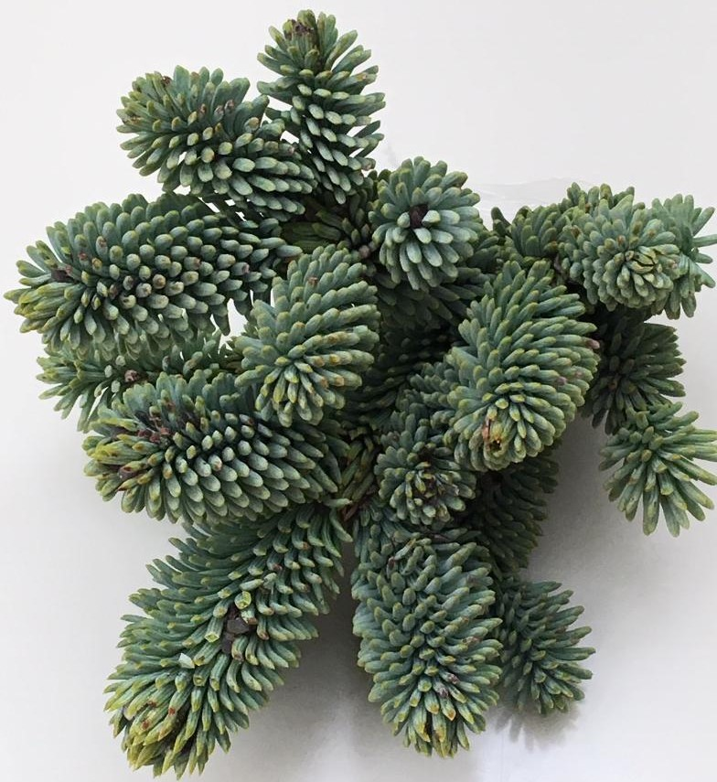 Close up of Abies procera 'Mt. Hood Summit'