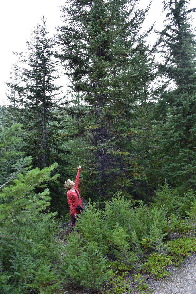 Cheryl finding cool columnar Pacific fir broom!