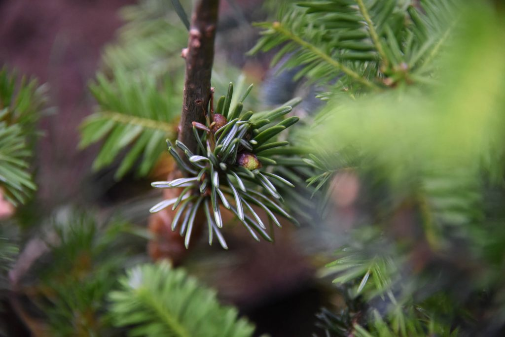 'White Pass' Pacific fir scion is pushing!