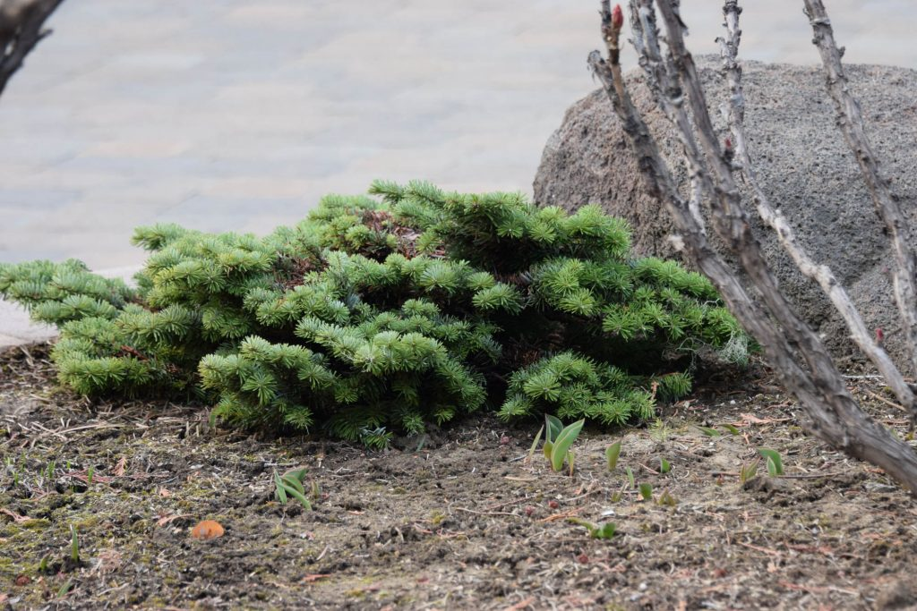 Abies amabilis 'Pacific Crest' broom close up, just harvested.