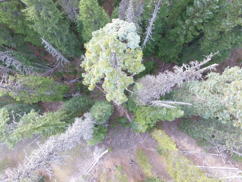 Aerial view of Abies procera 'Mt. Hood Summit', drone photo.