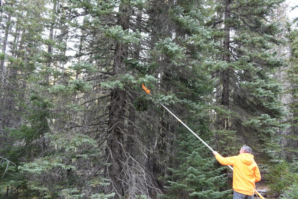 Mike harvesting Picea engelmanni broom 'Shades of Blue' in November 2019.