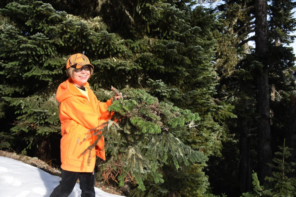 Abies amabilis broom # 12, harvest time! November 3, 2019, hunting season! Now named 'Falling Star'.