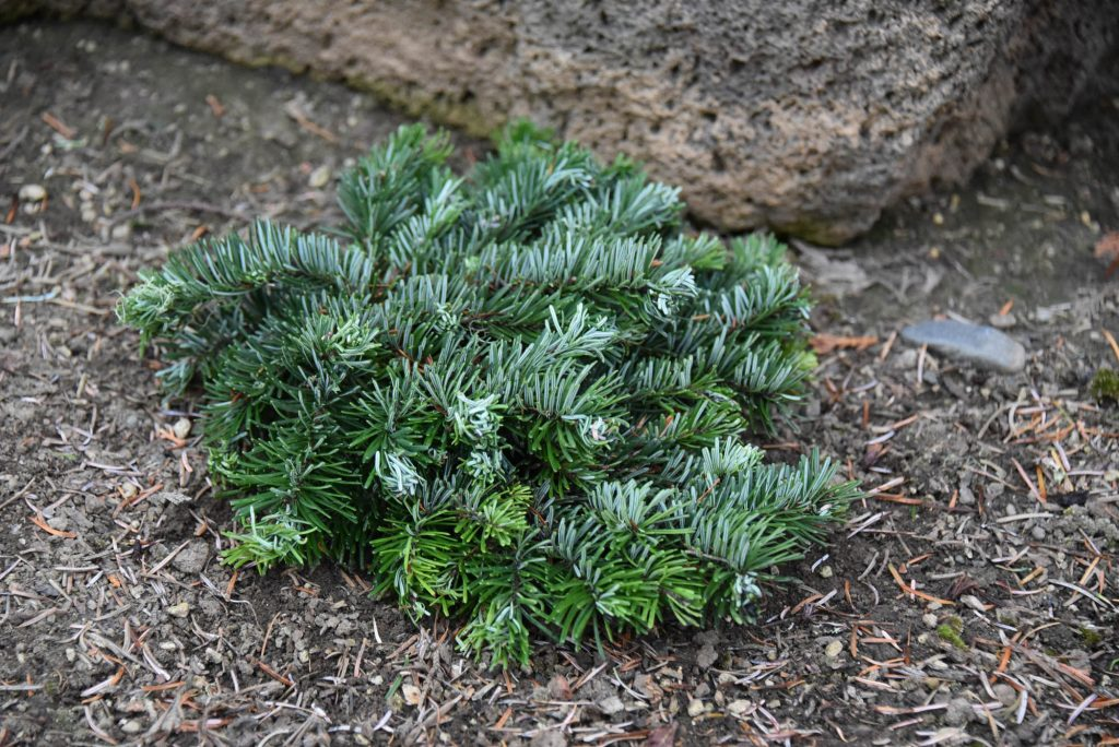 View from the top of Abies amabilis Pacific fir cultivar 'Sweet 16'!