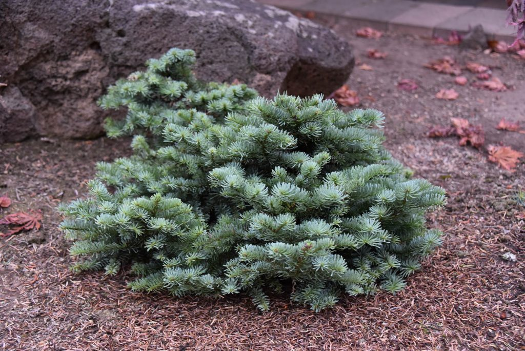 Noble fir broom, posing for future landscaping