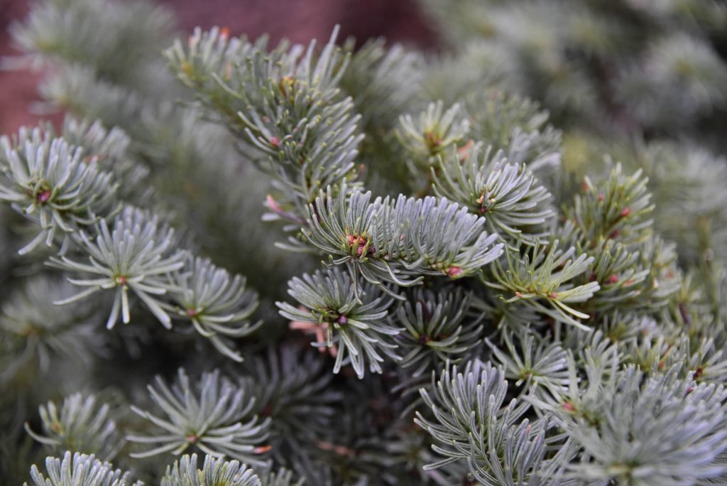 Close up of Abies procera  'Anew Blue', Noble fir broom