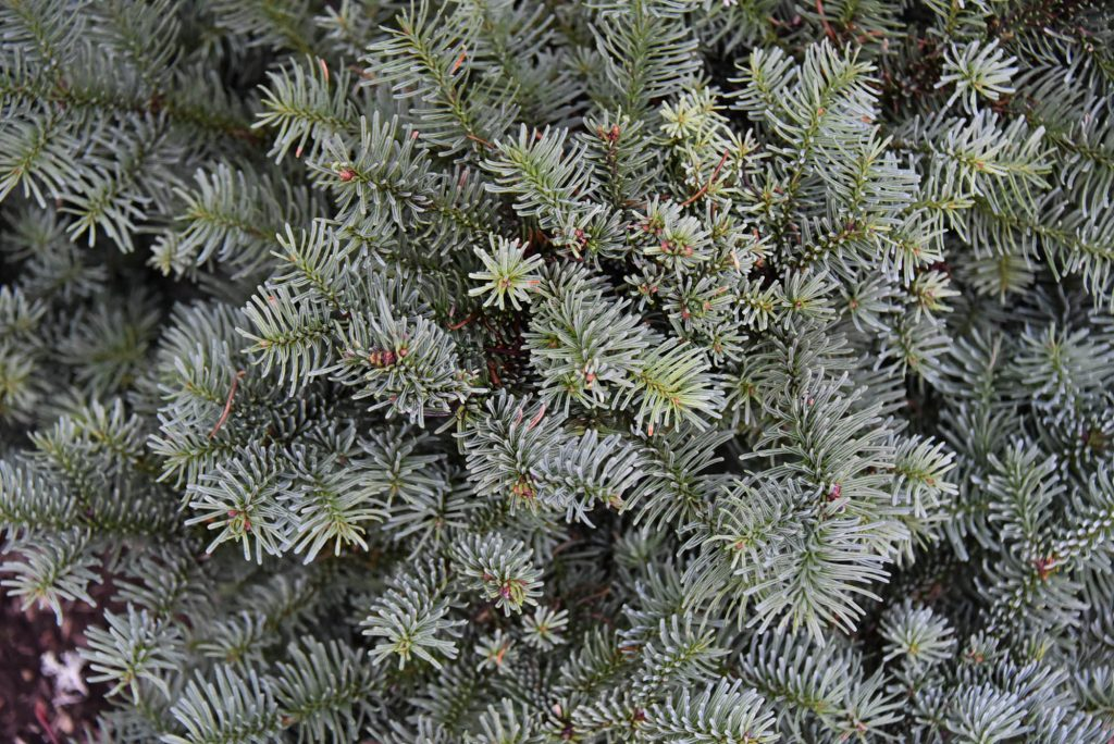 Close up of Abies procera 'Anew Blue'  Pacific fir broom