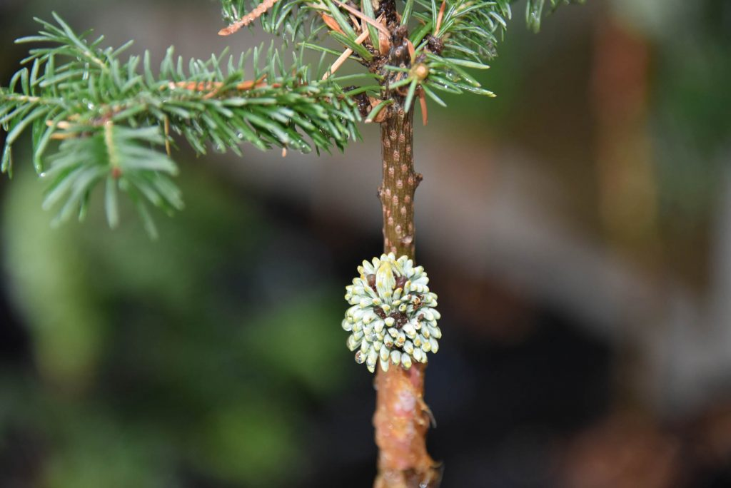 Noble fir new cultivar scion, 'Mt. Hood Summit' with dark buds.
