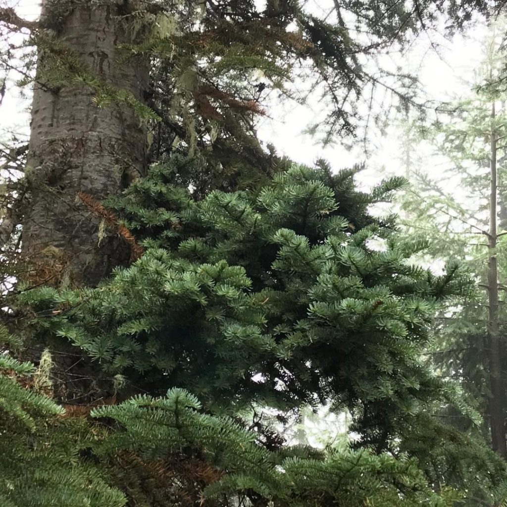 Abies procera  Noble fir broom 'Anew Blue' in the tree!