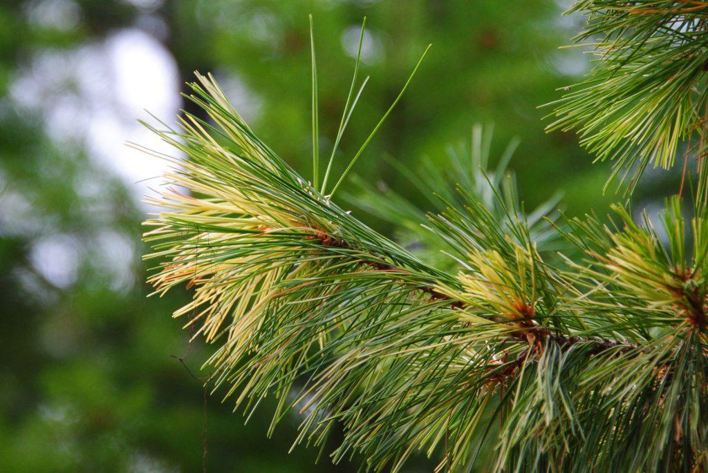 Pinus monticola 'Monti's Gold' Western white pine, variegated golden branch.