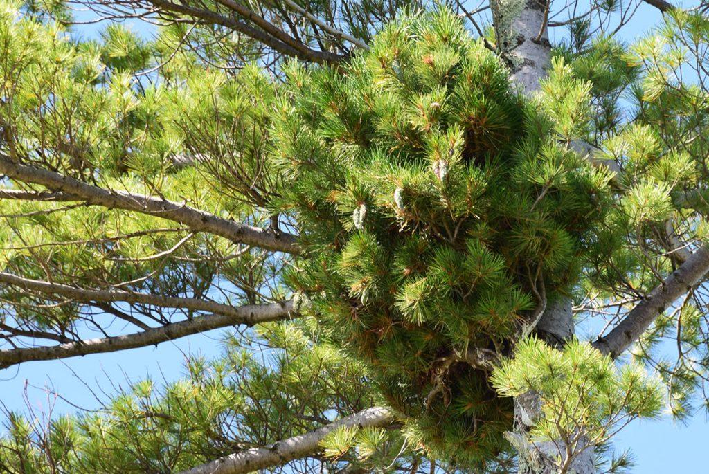 White pine broom, Pinus strobus 'Nokomis' with numerous cones.