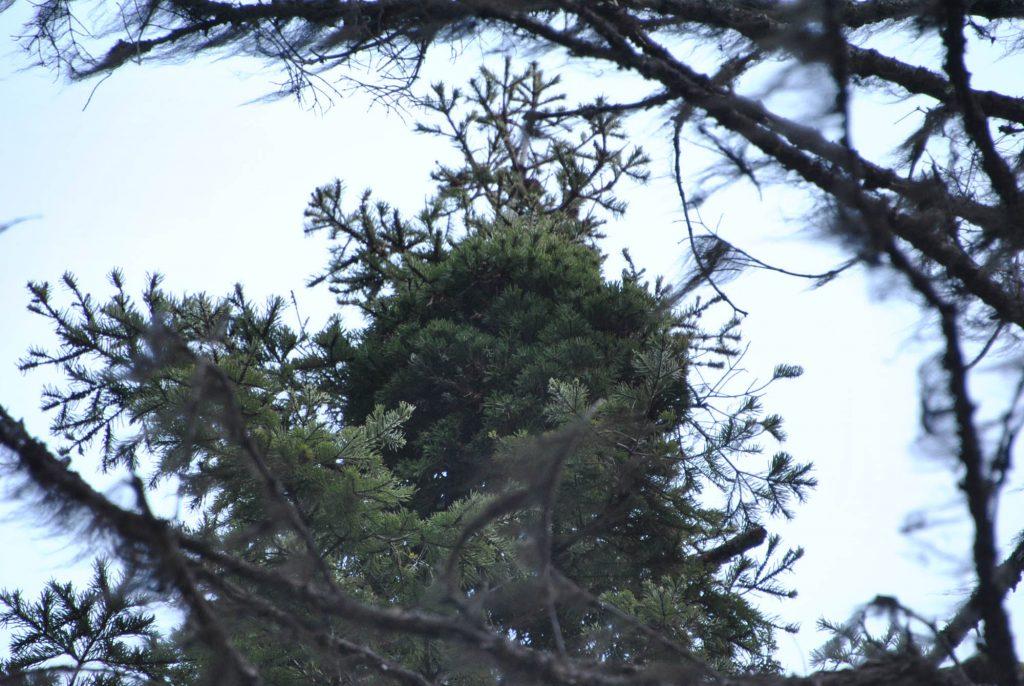 'Topper' fir broom