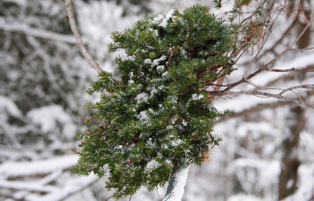 Balsam fir broom 'Puppini'