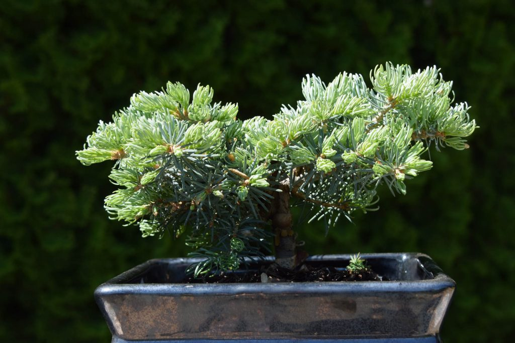 """This new Abies concolor white fir  cultivar has """"hoop-like"""" curly new growth pattern as needles emerge."""