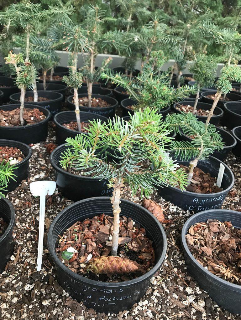 Abies grandis 'Grand Poobah' cultivar growing nicely!