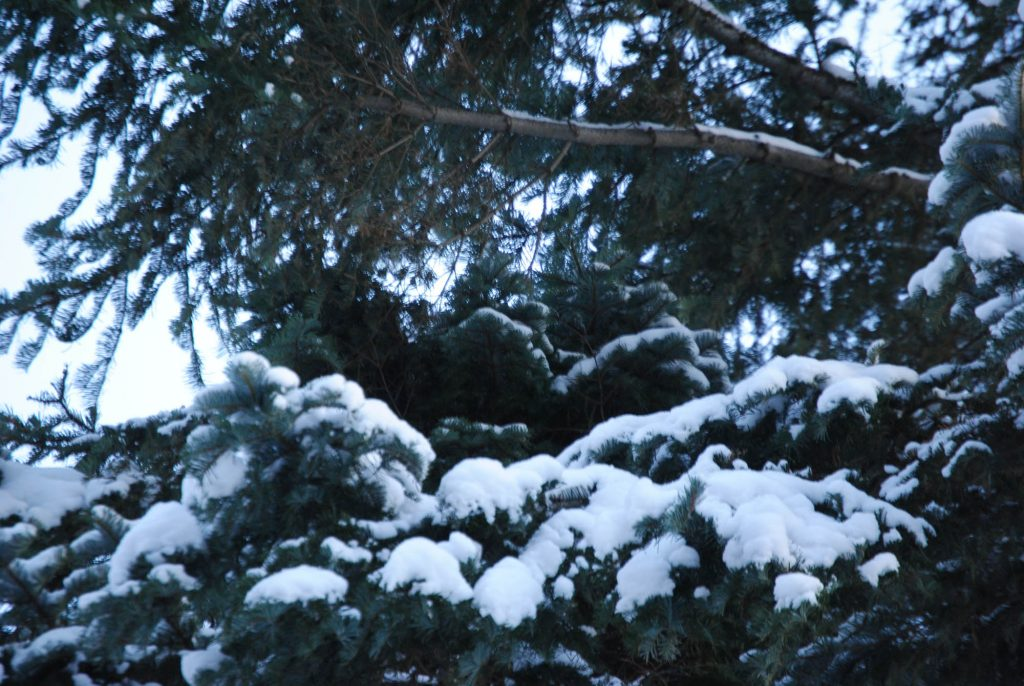 """Abies grandis broom discovered """"Serendipitously"""" because of a recent snowfall highlighting it's outiline!"""