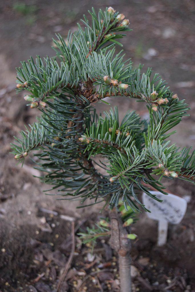Grand fir cultivar 'Serendipity' with vigorous new growth!