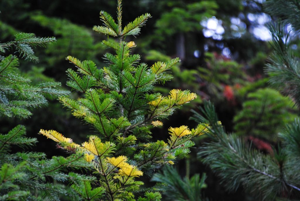 Grand fir parent tree with golden variegation throughout, Abies grandis 'Grand Prize'!