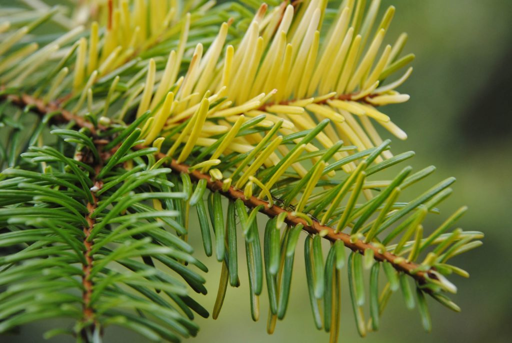 Beautiful golden variegation on Pacific grand fir, Abies grandis 'Grand Prize'.