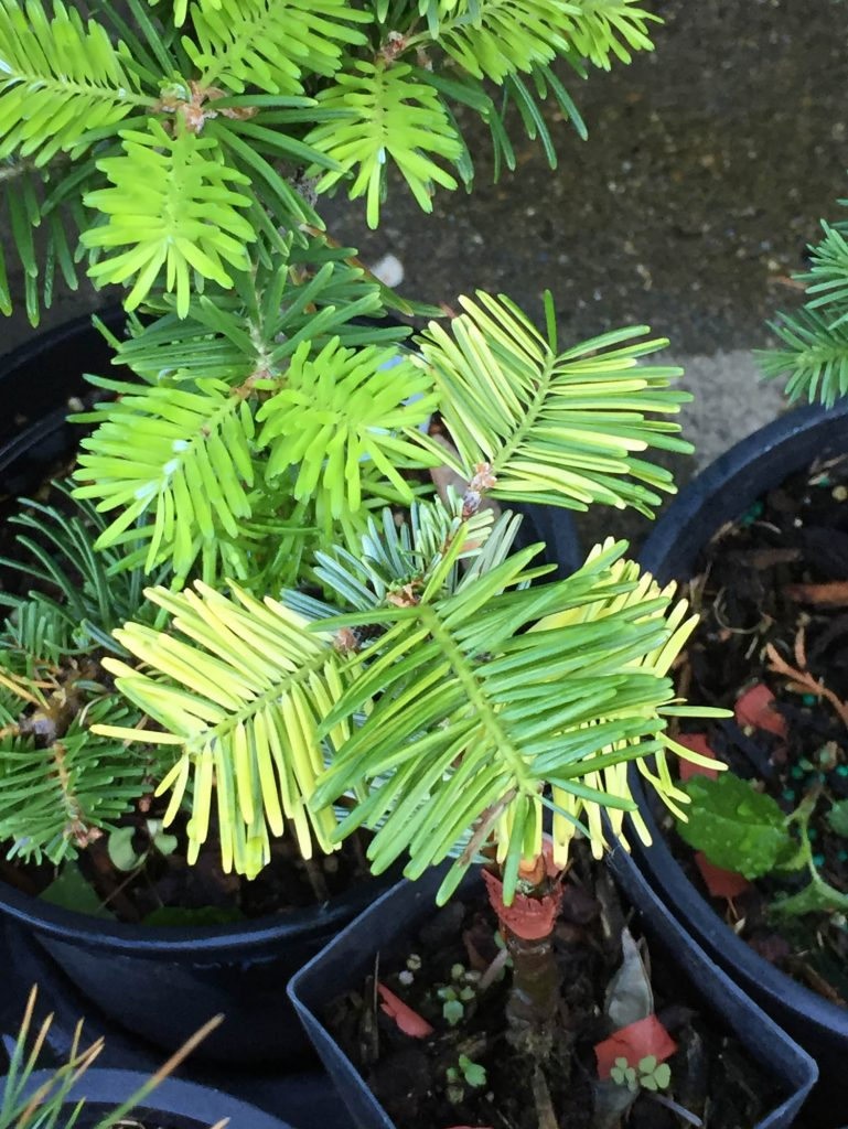 new golden variegated growth on Abies grandis 'Grand Prize'.