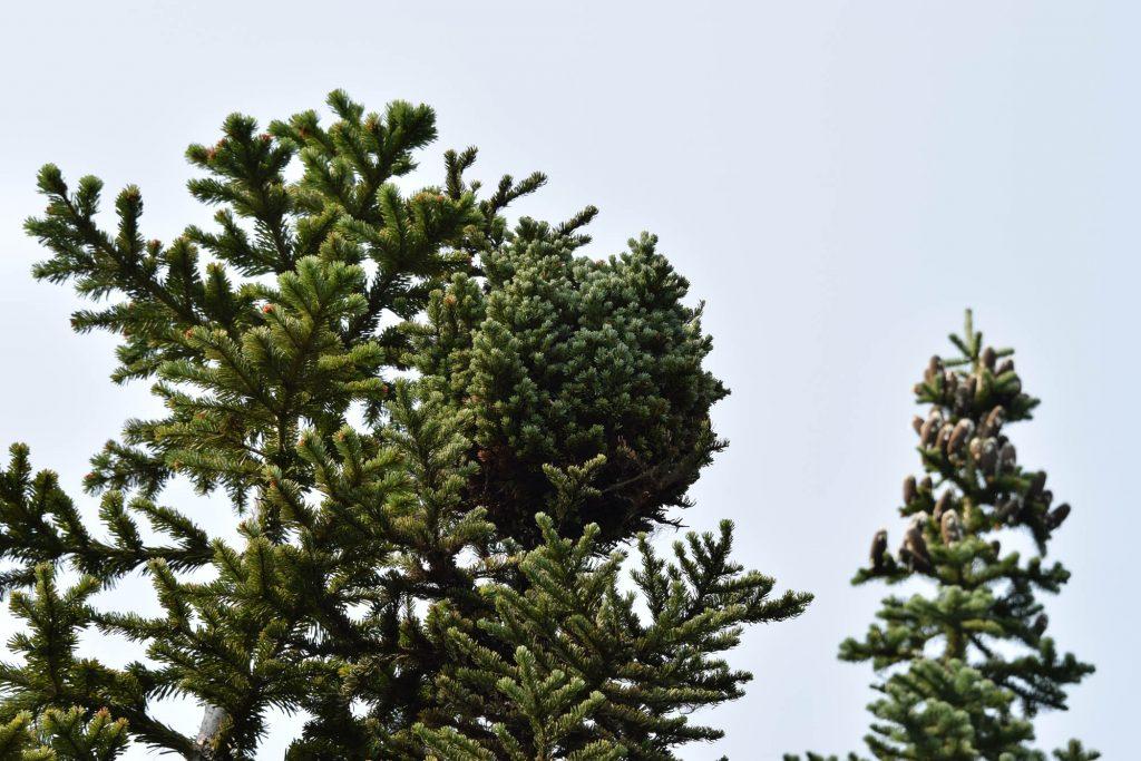 Subalpine fir broom 'Stampede Pass'