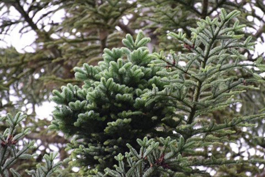 Abies procera 'Rhapsody in Blue' bud mutation broom arising from a Noble fir in the Pacific Northwest Cascade Mountain range.