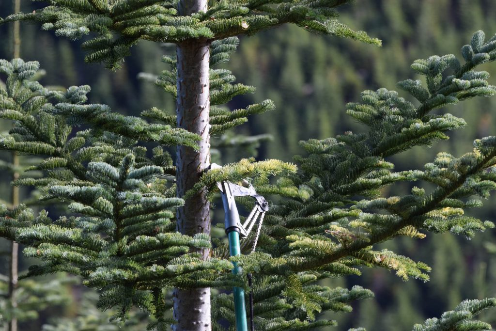 Harvesting scions of Abies procera 'Skunk tail'