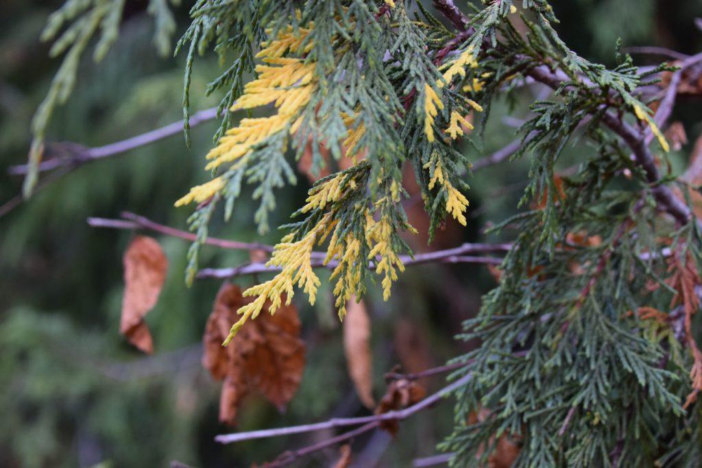 Alaskan cypress variegated sport