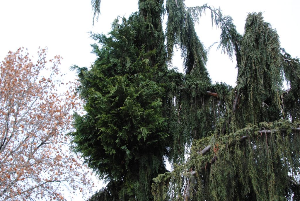 Alaska cypress broom on a pendulous tree on a side street in Yakima Washington.
