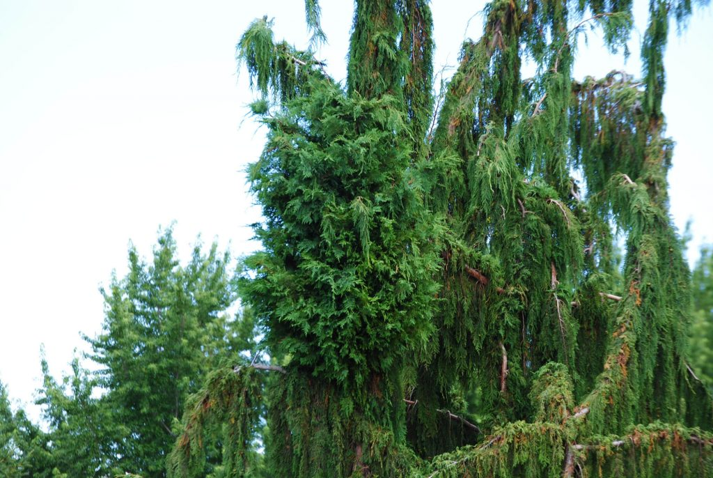 Cool Alaska cypress broom!